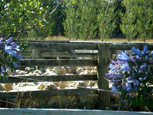 Sheep in the stock race near the Agapanthus