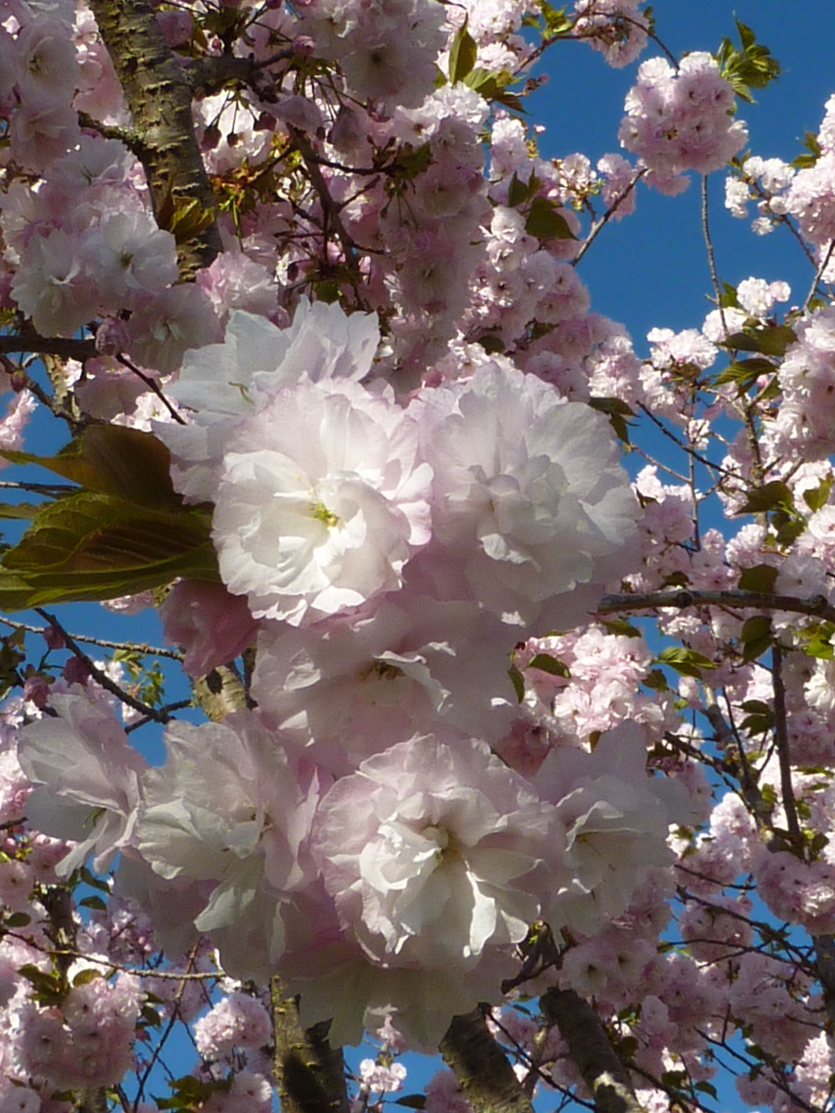 Blossoms on the cherry tree