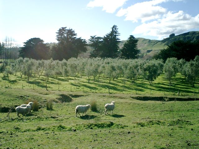 Sheep in front of the olive grove