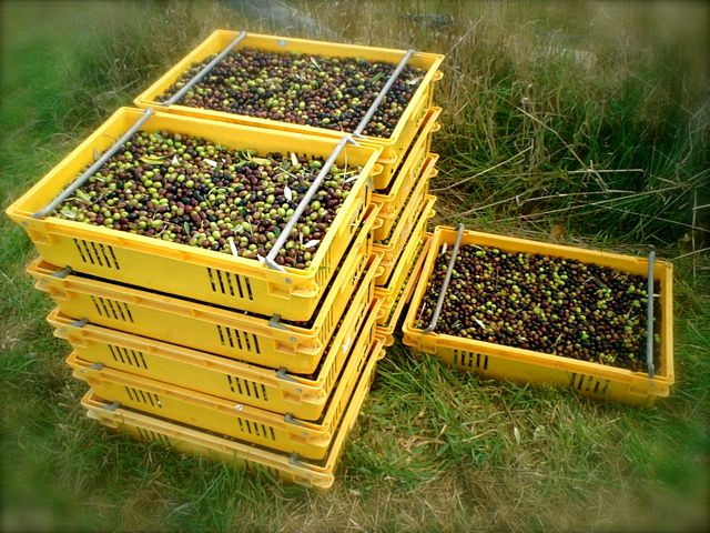Olive crates from the harvest