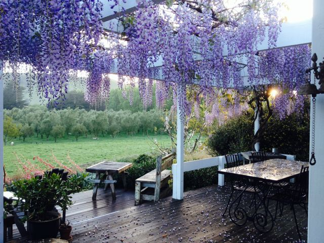 Wisteria on the front deck with the olive grove in the distance