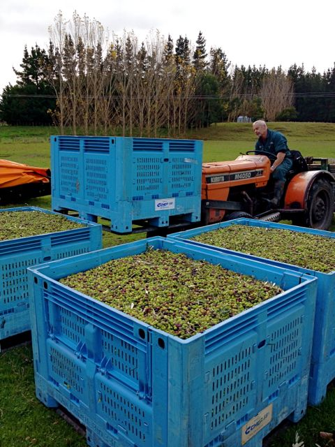 Olive bins and tractor